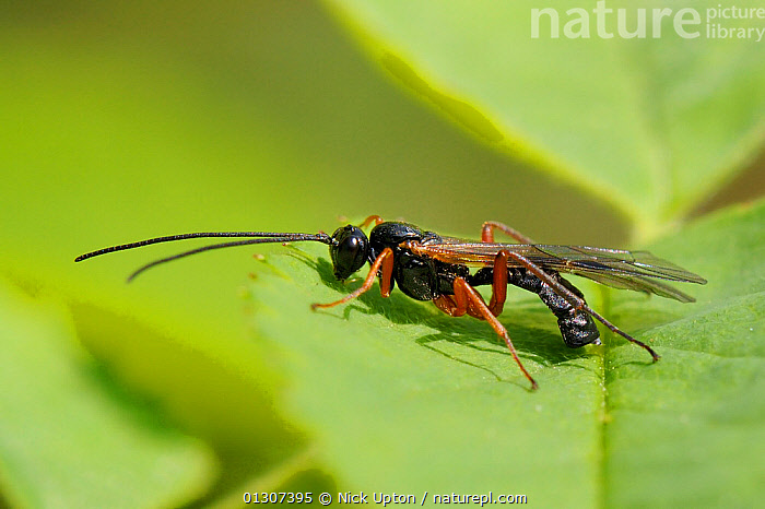 Ichneumon Wasp (Ichneumonidae) male on a leaf. Wiltshire garden, UK, May.  ,  APOCRITA,ENGLAND,GARDENS,HYMENOPTERA,ICHNEUMON,INSECTS,INVERTEBRATES,MALES,PARASITES,PARASITIC WASPS,PARASITOIDS,PLANTS,PORTRAITS,UK,WASPS,Europe,United Kingdom  ,  Nick Upton