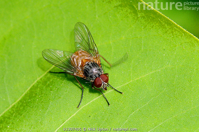 Muscid Fly (Phaonia rufiventris) sun basking on leaf, Wiltshire, UK, May.  ,  DIPTERA,ENGLAND,FLIES,INSECTS,INVERTEBRATES,MUSCIDAE,ORANGE,PORTRAITS,THERMOREGULATION,UK,Europe,United Kingdom  ,  Nick Upton