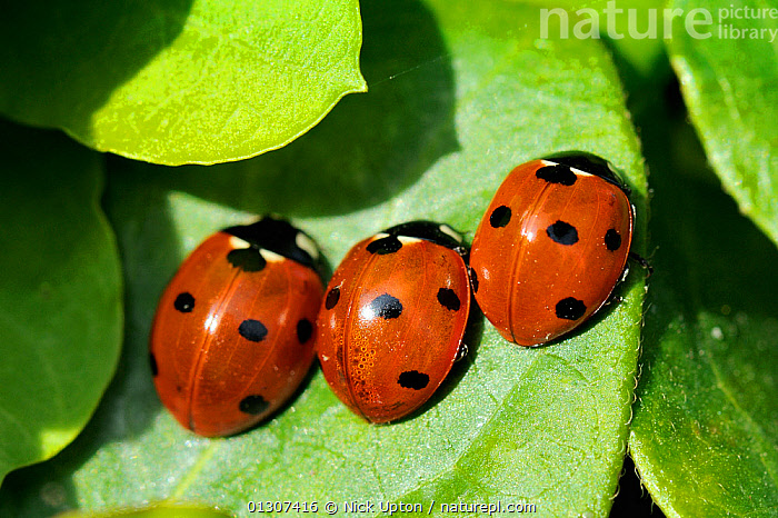 Three Seven Spot Ladybirds (Coccinella septempunctata) recently emerged from hibernation, sun basking on a leaf. Wiltshire garden, UK, April  ,  BEETLES,COLEOPTERA,COLOURFUL,ENGLAND,GARDENS,INSECTS,INVERTEBRATES,LADYBIRDS,PORTRAITS,RED,SPOTS,SPOTTED,THERMOREGULATION,THREE,UK,Europe,United Kingdom  ,  Nick Upton