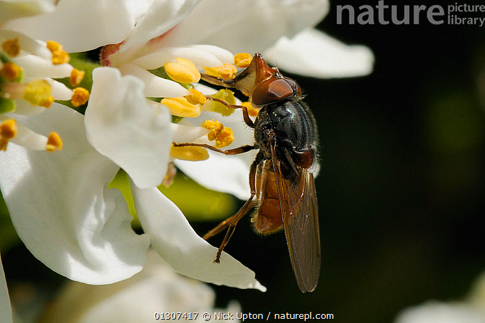 Snout / Duck-billed Hoverfly (Rhingia campestris) feeding from Mexican Orange blossom (Choisya ternata) Wiltshire garden, UK, April.  ,  DIPTERA,ENGLAND,FEEDING,FLIES,FLOWERS,FORAGING,GARDENS,HOVER FLIES,INSECTS,INVERTEBRATES,PLANTS,RUTACEAE,SYRPHIDAE,UK,Europe,United Kingdom  ,  Nick Upton