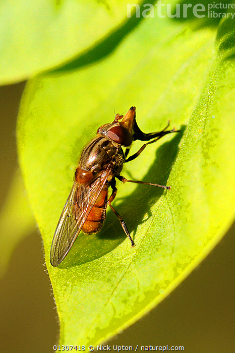 Snout / Duck-billed Hoverfly (Rhingia campestris) sun-basking on a leaf. Wiltshire garden, UK, April.  ,  DIPTERA,ENGLAND,FLIES,GARDENS,HOVER FLIES,INSECTS,INVERTEBRATES,ORANGE,PLANTS,PORTRAITS,SYRPHIDAE,THERMOREGULATION,UK,VERTICAL,Europe,United Kingdom  ,  Nick Upton
