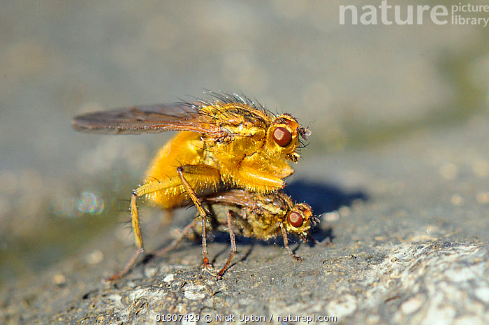 Male Yellow Dung Fly (Scathophaga stercoraria) guarding female, on a cow pat. Wiltshire, UK, April.  ,  ARTHROPODS,BEHAVIOUR,COMPETITION,COPULATION,COURTSHIP,DIPTERA,DUNG FLIES,ENGLAND,FAECES,FLIES,GUARDING,INSECTS,INVERTEBRATES,MALE FEMALE PAIR,SCATHOPHAGIDAE,UK,Reproduction,Europe,United Kingdom  ,  Nick Upton