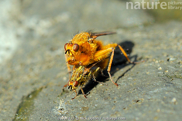 Pair of Yellow Dung Flies (Scathophaga stercoraria) male guarding female as she lays eggs on cow pat. Wiltshire, UK, April.  ,  ARTHROPODS,BEHAVIOUR,COPULATION,DIPTERA,DUNG,DUNG FLIES,EGGS,ENGLAND,FAECES,FLIES,INSECTS,INVERTEBRATES,MALE FEMALE PAIR,OVIPOSITION,SCATHOPHAGIDAE,UK,Reproduction,Europe,United Kingdom  ,  Nick Upton