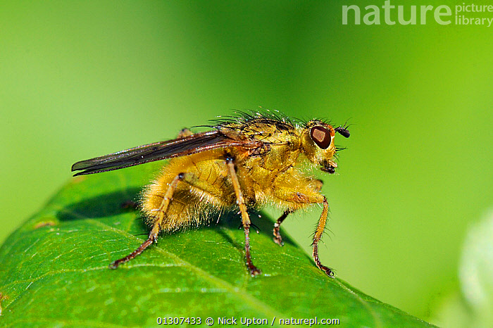 Male Yellow Dung Fly (Scathophaga stercoraria)profile portrait on leaf, Cornwall, UK, April.  ,  ARTHROPODS,DIPTERA,DUNG FLIES,ENGLAND,FLIES,INSECTS,INVERTEBRATES,MALES,PORTRAITS,PROFILE,SCATHOPHAGIDAE,UK,Europe,United Kingdom  ,  Nick Upton
