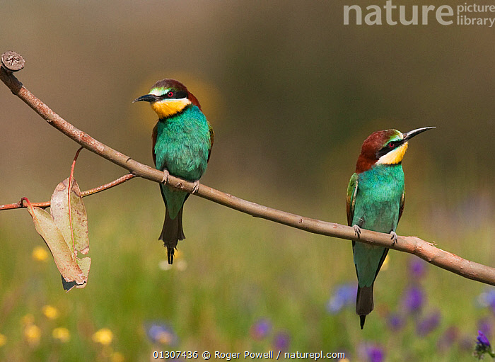 Pair of European Bee-eaters (Merops apiaster) perched together on a eucalyptus branch Castro Verde, Portugal, April  ,  BEE EATERS,BIRDS,EUROPE,MALE FEMALE PAIR,PORTRAITS,PORTUGAL,SONGBIRDS,VERTEBRATES  ,  Roger Powell