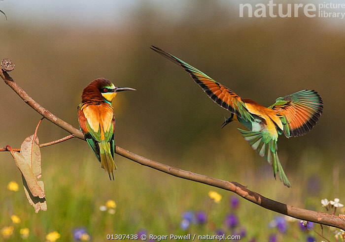 European Bee-eater (Merops apiaster) male flying in to present a Bee to his mate, Castro Verde, Portugal, April  ,  BEE EATERS,BIRDS,COURTSHIP,EUROPE,FEEDING,LANDING,MALE FEMALE PAIR,PORTUGAL,SONGBIRDS,TWO,VERTEBRATES  ,  Roger Powell