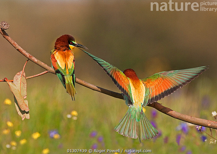 European Bee-eater (Merops apiaster) male flying in to present a Bee to his mate, Castro Verde, Portugal, April  ,  BEE EATERS,BIRDS,COURTSHIP,EUROPE,LANDING,MALE FEMALE PAIR,PORTUGAL,SONGBIRDS,TWO,VERTEBRATES  ,  Roger Powell