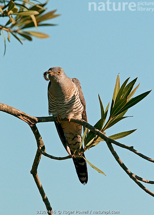 European Cuckoo (Cuculus canorus) with large caterpillar in beak, resting briefly whilst on migration north, Castro Verde, Portugal, April  ,  BIRDS,CUCKOOS,EUROPE,FEEDING,HUNTING,MIGRATION,PORTUGAL,VERTEBRATES,VERTICAL  ,  Roger Powell