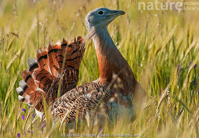 Great Bustard (Otis tarda) male in partial display as he walks through the communal lek, Castro Verde, Portugal, April  ,  BEHAVIOUR,BIRDS,BREEDING SEASON,BUSTARDS,COURTSHIP,DISPLAY,ENDANGERED,MALES,PLAINS,PORTRAITS,STEPPE,VERTEBRATES,Communication,Europe,Grassland  ,  Roger Powell