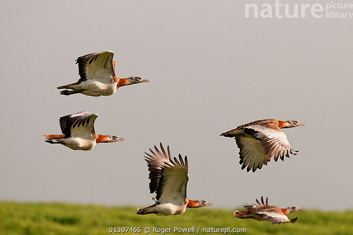Great Bustard (Otis tarda) males in flight to main lekking area. Castro Verde, Portugal, April  ,  BEHAVIOUR,BIRDS,BREEDING SEASON,BUSTARDS,COURTSHIP,DISPLAY,ENDANGERED,FLYING,MALES,PLAINS,STEPPE,VERTEBRATES,Communication,Europe,Grassland  ,  Roger Powell