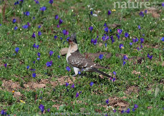 Great Spotted Cuckoo (Clamator glandarius) in flower meadow, Castro Verde, Portugal, March  ,  BIRDS,BLUE,CUCKOOS,FLOWERS,MEADOWLAND,PORTUGAL,VERTEBRATES,Grassland,Europe  ,  Roger Powell