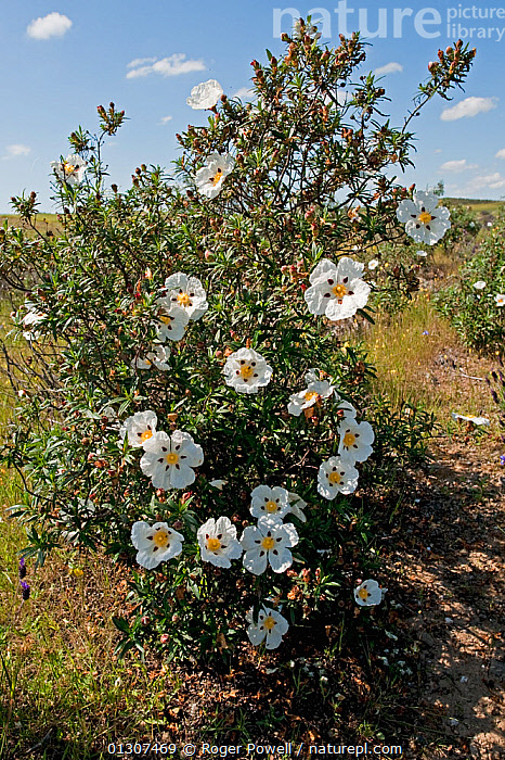 Gum Cistus (Cistus ladanifer) flowering on dry hillside, Castro Verde, Portugal, May  ,  CISTACEAE,COUNTRYSIDE,DICOTYLEDONS,FLOWERS,PLANTS,PORTUGAL,VERTICAL,Europe  ,  Roger Powell