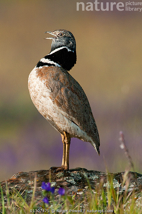 Little Bustard (Tetrax tetrax) male perched on favourite stone, calling at lek, Castro Verde, Portugal, April  ,  BEHAVIOUR,BIRDS,BREEDING SEASON,BUSTARDS,CALLING,COURTSHIP,DISPLAY,LEK,MALES,PLAINS,PORTUGAL,STEPPE,VERTEBRATES,VERTICAL,Communication,Europe,Grassland  ,  Roger Powell