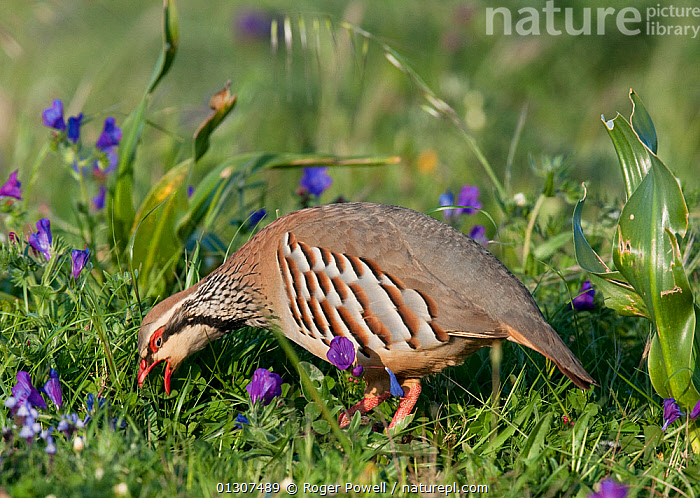 Red-legged Partridge (Alectoris rufa) feeding in a meadow. Castro Verde, Portugal, April  ,  BIRDS,FEEDING,GALLIFORMES,GAME BIRDS,MEADOWLAND,PARTRIDGE,PORTUGAL,VERTEBRATES,Grassland,Europe  ,  Roger Powell