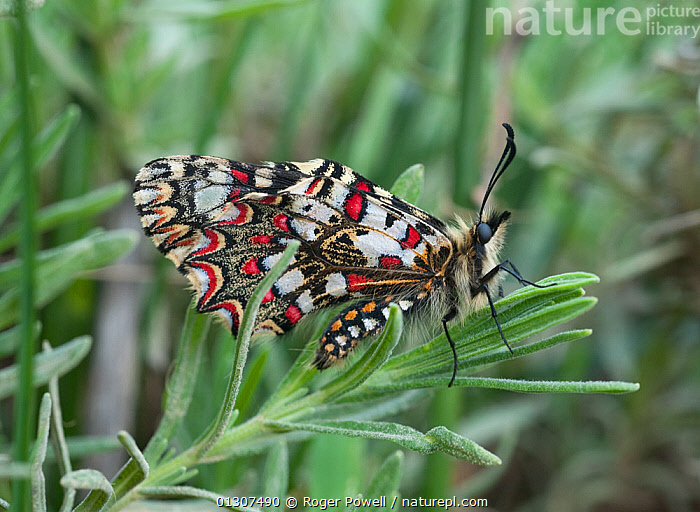 Spanish Festoon butterfly (Zerynthia rumina) with wings closed, Castro Verde, Portugal, May  ,  BUTTERFLIES,CLOSE UPS,INSECTS,INVERTEBRATES,LEPIDOPTERA,PORTUGAL,RESTING,Europe  ,  Roger Powell