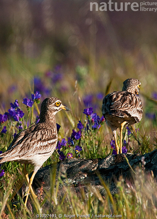 Stone Curlew (Burhinus oedicnemus) pair walking through a flower meadow, Castro Verde, Portugal, April  ,  April,BIRDS,BROWN,Castro Verde,catalogue3,close up,CLOSE UPS,COURTSHIP,flirting,flowering,Following,full length,MALE FEMALE PAIR,mating,meadow,MEADOWLAND,Nobody,outdoors,Pair,plumage,PORTUGAL,PURPLE,Pursuit,rear view,rural,SPRING,STONE CURLEWS,two animals,VERTEBRATES,VERTICAL,WALKING,WILDLIFE,Grassland,Europe,Plovers,Waders  ,  Roger Powell