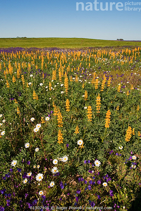 Yellow Lupins (Lupinus luteus) growing with other wild flowers Southern Daisy (Bellis sylvestris) Purple Vipers Bugloss (Echium vulgare) Castro Verde, Portugal, May  ,  COLOURFUL,DICOTYLEDONS,FABACEAE,FLOWERS,LANDSCAPES,LEGUME,MEADOWLAND,PLANTS,PORTUGAL,VERTICAL,Grassland,Europe  ,  Roger Powell
