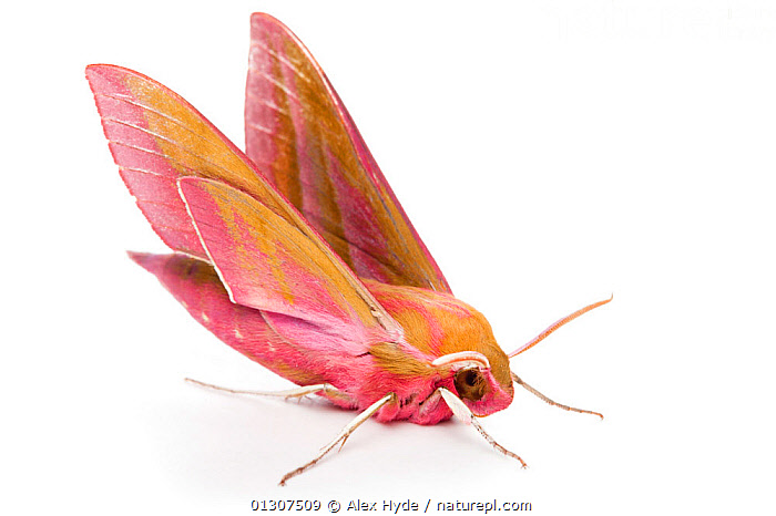Elephant Hawkmoth (Deilephila elpenor) on white background. Pembrokeshire, Wales, UK. July.  ,  CUTOUT,HAWKMOTHS,INSECTS,INVERTEBRATES,LEPIDOPTERA,MOTHS,PEMBROKESHIRE,UK,WALES,Europe,United Kingdom,Elephants  ,  Alex Hyde
