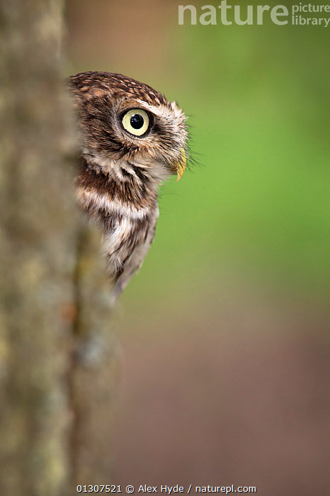 Little owl (Athene noctua) looking out from perch on tree trunk, captive,  England  ,  BIRDS,BIRDS OF PREY,ENGLAND,OWLS,PORTRAITS,UK,VERTEBRATES,VERTICAL,Europe,United Kingdom,Raptor  ,  Alex Hyde