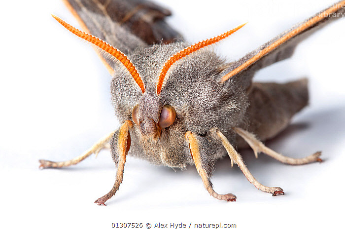 Poplar Hawkmoth (Laothoe populi) close-up of male on white background. Pembrokeshire, UK. July.  ,  CLOSE UPS,CUTOUT,HAWKMOTHS,HEADS,INSECTS,INVERTEBRATES,LEGS,LEPIDOPTERA,MALES,MOTHS,PORTRAITS,PROCESSED,UK,Europe,United Kingdom  ,  Alex Hyde