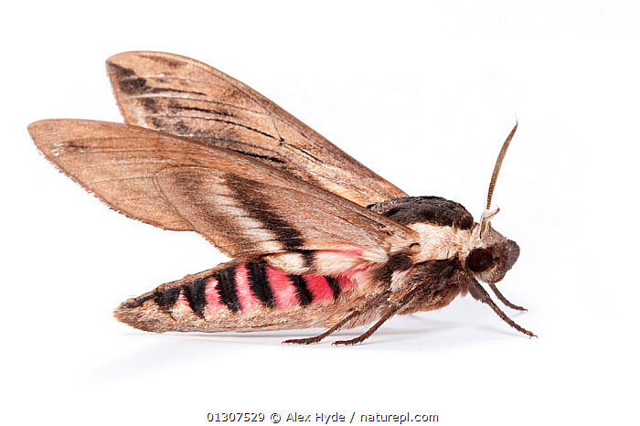 Privet Hawkmoth (Sphinx ligustri) side view, on a white background. Pembrokeshire, UK. July.  ,  COLOURFUL,CUTOUT,HAWKMOTHS,INSECTS,INVERTEBRATES,LEPIDOPTERA,MOTHS,PINK,PORTRAITS,PRIVET,PROFILE,SPHINX MOTHS,UK,Europe,United Kingdom  ,  Alex Hyde