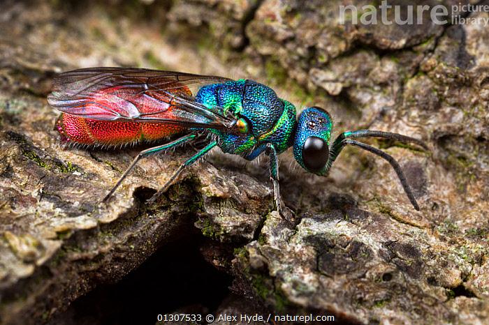 Ruby-tailed / Cuckoo wasp (Chrysis ignita) on wood. Derbyshire, June  ,  ARTHROPODS,CLOSE UPS,COLOURFUL,HYMENOPTERA,INSECTS,INVERTEBRATES,PORTRAITS,UK,WASPS,Europe,United Kingdom  ,  Alex Hyde