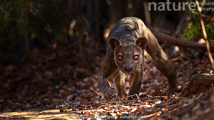 Fosa / Fossa (Cryptoprocta ferox) male prowling in dry deciduous forest, Kirindy Forest, Western Madagascar, IUCN vulnerable species.  ,  BROWN,CARNIVORES,CATALOGUE2,danger,deciduous,FORESTS,fosa,FOSSAS,front view,Kirindy Forest,leaf litter,looking at camera,MADAGASCAR,male animal,MALES,MAMMALS,menacing,nature,Nobody,one animal,outdoors,PORTRAITS,prowling,Threats,TROPICAL DRY FOREST,ugly,VERTEBRATES,vulnerable species,WALKING,WEIRD,whiskers,WILDLIFE  ,  Alex Hyde
