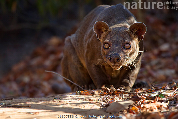 Fosa / Fossa (Cryptoprocta ferox) male crouched in dry deciduous forest, Kirindy Forest, Western Madagascar, IUCN vulnerable species.  ,  CARNIVORES,FORESTS,FOSA,FOSSAS,MADAGASCAR,MALES,MAMMALS,TROPICAL DRY FOREST,VERTEBRATES  ,  Alex Hyde