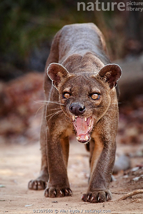 Fosa / Fossa (Cryptoprocta ferox) male snarling, dry deciduous forest, Kirindy Forest, Western Madagascar, IUCN vulnerable species. Not available for ringtone/wallpaper use.  ,  AGGRESSION,BEHAVIOUR,CARNIVORES,DEFENSIVE,FORESTS,FOSA,FOSSAS,MADAGASCAR,MALES,MAMMALS,TEETH,TROPICAL DRY FOREST,VERTEBRATES,Concepts,RINGTONE  ,  Alex Hyde