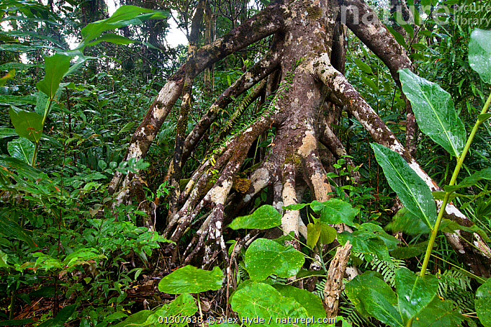 Branching aerial roots of tree in tropical rainforest, Masoala Peninsula National Park, NE Madagascar.  ,  HABITAT,LEAVES,MADAGASCAR,NP,PLANTS,RESERVE,ROOTS,TREES,TROPICAL RAINFOREST,National Park  ,  Alex Hyde