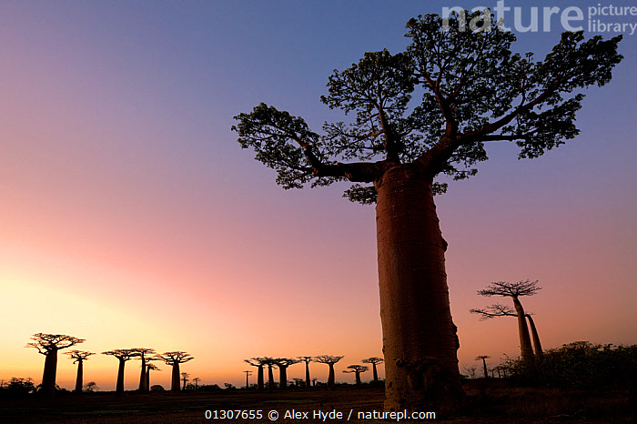 Boabab trees {Adansonia grandidieri} silhouetted at sunset. Morondava, Madagascar, October 2009  ,  AFRICA,ATMOSPHERIC,BRANCHES,catalogue3,clear sky,copyspace,DICOTYLEDONS,DUSK,Evening,GROUPS,landscape,LANDSCAPES,large group,large group of objects,low angle view,MADAGASCAR,MALVACEAE,Morondava,mysterious,mystery,nature,Nobody,outdoors,PLANTS,RESERVE,Scenics,SILHOUETTES,SKY,SUNSET,Travel,TREES,TRUNKS  ,  Alex Hyde