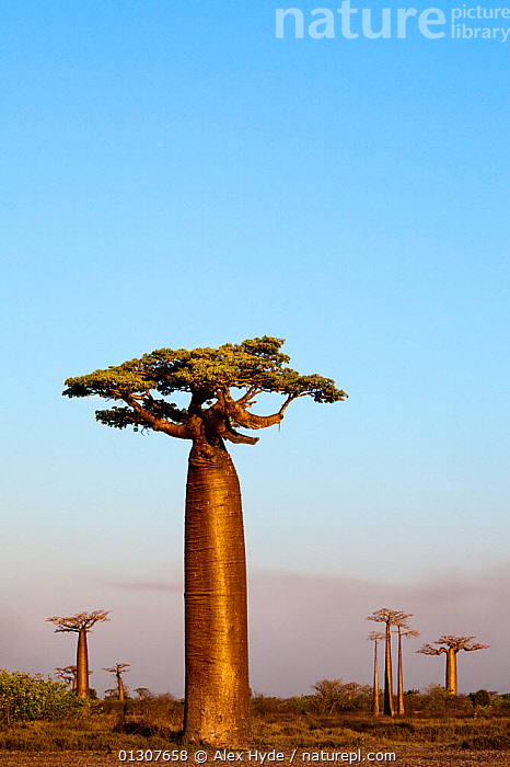 Boabab trees {Adansonia grandidieri} in evening light. Morondava, Madagascar, October 2009  ,  AFRICA,blue sky,BRANCHES,catalogue3,clear sky,concepts,copyspace,DICOTYLEDONS,Evening,GROUPS,GROWTH,LANDSCAPES,MADAGASCAR,MALVACEAE,medium group,medium group of objects,Morondava,mysterious,mystery,nature,Nobody,october,outdoors,PLANTS,RESERVE,Scenics,SKY,Travel,TREES,treetrunk,TRUNKS,VERTICAL  ,  Alex Hyde