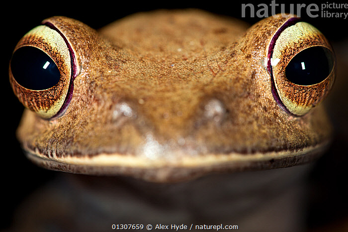 Tree frog {Boophis sp} close-up of head. Masoala Peninsula National Park, north east Madagascar.  ,  AMPHIBIANS,ANURA,EYES,FACES,FROGS,MADAGASCAR,NP,PORTRAITS,RESERVE,TREE FROGS,VERTEBRATES,National Park  ,  Alex Hyde