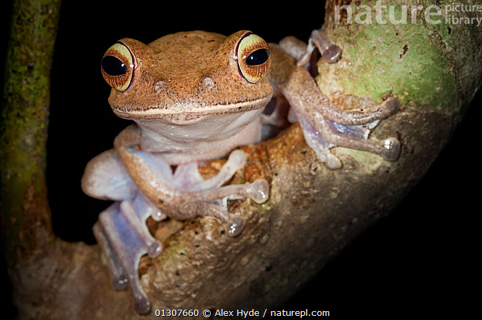 Tree frog {Boophis sp} in tree in tropical rainforest at night. Masoala Peninsula National Park, north east Madagascar.  ,  AMPHIBIANS,ANURA,FROGS,LOW ANGLE SHOT,MADAGASCAR,NIGHT,NP,RESERVE,TREE FROGS,TROPICAL RAINFOREST,VERTEBRATES,National Park  ,  Alex Hyde