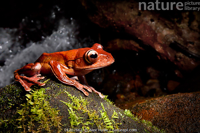 Madagascar tree / Leaf litter frog {Boophis madagascariensis} at night by rainforest stream. Masoala Peninsula National Park, north east Madagascar.  ,  AMPHIBIANS,ANURA,FROGS,HABITAT,MADAGASCAR,NP,RESERVE,RIVERS,STREAMS,TREE FROGS,TROPICAL RAINFOREST,VERTEBRATES,National Park  ,  Alex Hyde