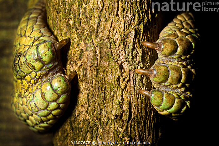 Close up of Parson's chameleon {Calumma parsonii} foot gripping branch. The 5 toes of each foot are fused into opposing groups in a 2:3 arrangement. Madagascar.  ,  AFRICA,animal foot,BARK,branch,catalogue3,Chamaeleo,CHAMELEONS,claw,CLAWS,close up,CLOSE UPS,CRYPTIC,DIGITS,FEET,gripping,LIZARDS,MADAGASCAR,nature,outdoors,REPTILES,toes,VERTEBRATES,WILDLIFE,Plants  ,  Alex Hyde