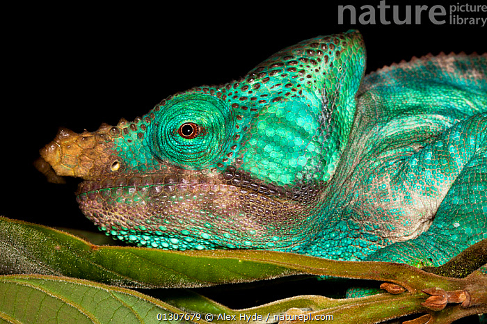 Parson's chameleon (Calumma parsonii) male, coloured green, in tropical rainforest, Andasibe-Mantadia National Park, Madagascar.  ,  CHAMAELEO,CHAMELEONS,COLOURFUL,GREEN,LIZARDS,MADAGASCAR,NP,PORTRAITS,PROFILE,REPTILES,RESERVE,TROPICAL RAINFOREST,VERTEBRATES,National Park  ,  Alex Hyde