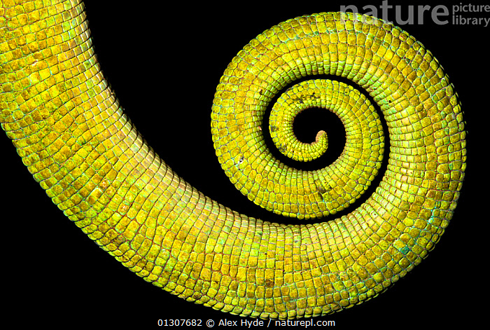 Close up of coiled tail of Parson's chameleon {Calumma parsonii} showing scales and strong green colouration. Tropical rainforest, Masoala Peninsula National Park, north east Madagascar.  ,  CHAMAELEO,CHAMELEONS,CLOSE UPS,COILS,LIZARDS,MADAGASCAR,NP,PATTERNS,REPTILES,RESERVE,TAILS,TROPICAL RAINFOREST,VERTEBRATES,National Park  ,  Alex Hyde