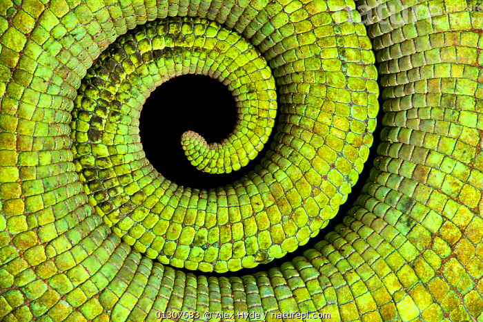 Close up of coiled tail of Parson's chameleon {Calumma parsonii} showing scales and strong green colouration. Tropical rainforest, Masoala Peninsula National Park, north east Madagascar.  ,  AFRICA,animal marking,animal scales,artys shots,catalogue3,Chamaeleo,CHAMELEONS,close up,CLOSE UPS,coiled,coils,colouration,full frame,GREEN,green colour,LIZARDS,MADAGASCAR,Masoala Penninsula,Morth East Madagascar,national park,natural pattern,NP,Prehensile,REPTILES,SKIN,spiral,tail,TAILS,VERTEBRATES  ,  Alex Hyde