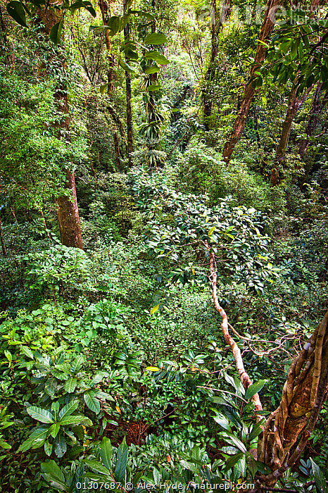 Lowland rainforest viewed from canopy platform, Masoala Peninsula National Park, north east Madagascar, October 2009  ,  DENSE,HABITAT,LEAVES,MADAGASCAR,NP,RESERVE,TREES,TROPICAL RAINFOREST,VERTICAL,National Park,PLANTS  ,  Alex Hyde