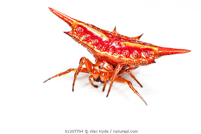 Spinybacked orb weaver spider (Gasteracantha sp.} photographed on white background, tropical rainforest, Andasibe-Mantadia NP, Madagascar  ,  ARACHNIDS,ARTHROPODS,COLOURFUL,CRYPTIC,CUTOUT,INVERTEBRATES,MADAGASCAR,ORB WEAVER SPIDERS,RED,SPIDERS,SPINES,TROPICAL RAINFOREST  ,  Alex Hyde