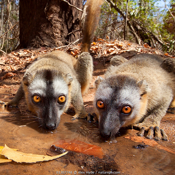 Red fronted brown lemurs {Lemur fulvus rufus} drinking from pool, Kirindy forest, West Madagascar., BEHAVIOUR,DRINKING,ENDANGERED,HABITAT,LEMURS,MADAGASCAR,MAMMALS,RESERVE,TWO,VERTEBRATES,WATER, Alex Hyde