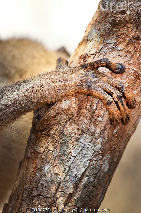 Close up of fore foot of Red fronted brown lemur {Lemur fulvus rufus}, Kirindy forest, West Madagascar, animal foot,anticipation,BARK,branch,camouflage,catalogue3,CLIMBING,close up,CLOSE UPS,DIGITS,ENDANGERED,FEET,fore foot,HANDS,holding,Kirindy Forest,LEMURS,MADAGASCAR,MAMMALS,Nobody,outdoors,part of,RESERVE,spooky,VERTEBRATES,VERTICAL,West Madagascar,WILDLIFE,Plants ,camoflage,camoflague,CAMOUFLAGE, Alex Hyde