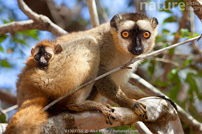Red fronted brown lemur {Lemur fulvus rufus} with baby, looking down from tree, Kirindy forest, West Madagascar, BABIES,CUTE,ENDANGERED,FAMILIES,LEMURS,LOW ANGLE SHOT,MADAGASCAR,MAMMALS,MOTHER BABY,RESERVE,VERTEBRATES, Alex Hyde