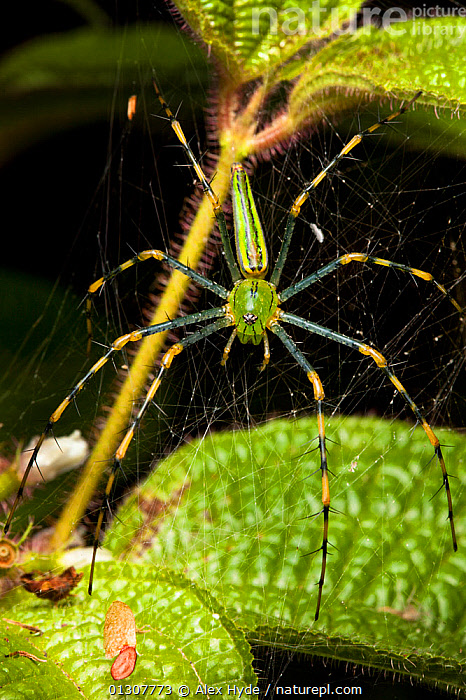 Malagasy green lynx spider {Peucetia madagascariensis} on web, tropical rainforest, Masoala Peninsula National Park, north east Madagascar., ARACHNIDA,ARACHNIDS,GREEN,INVERTEBRATES,MADAGASCAR,NP,RESERVE,SPIDERS,SPIDER WEB,TROPICAL RAINFOREST,VERTICAL,National Park, Alex Hyde