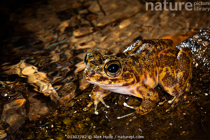 Grandidier's Madagascar Frog (Mantidactylus grandidieri) in rainforest stream at night. Masoala Peninsula National Park, north east Madagascar., AMPHIBIANS,ANURA,CAMOUFLAGE,FRESHWATER,FROGS,MADAGASCAR,MANTELLIDAE,NP,RESERVE,TROPICAL,TROPICAL RAINFOREST,VERTEBRATES,National Park, Alex Hyde