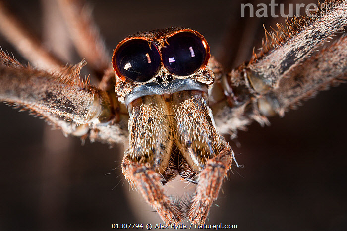 Close up of head of Ogre faced / Net-casting spider {Deinopis sp} showing the huge pair of eyes that enable it to hunt at night. Masoala Peninsula National Park, north east Madagascar., ARACHNIDA,ARACHNIDS,EYES,INVERTEBRATES,MADAGASCAR,NET CASTING SPIDERS,NOCTURNAL,NP,PORTRAITS,RESERVE,TROPICAL RAINFOREST,National Park, Alex Hyde
