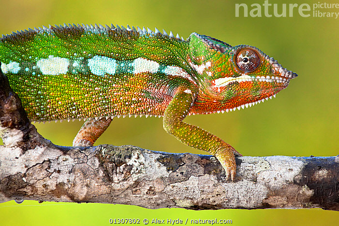 Panther chameleon {Furcifer pardalis} walking along branch, Masoala Peninsula National Park, north east Madagascar., BEHAVIOUR,CHAMELEONS,GREEN,MADAGASCAR,MOVEMENT,NP,PROFILE,REPTILES,RESERVE,TROPICAL RAINFOREST,VERTEBRATES,WALKING,National Park,Lizards, Alex Hyde