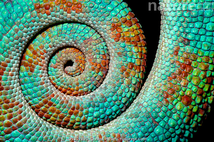 Panther chameleon, close up of coiled tail {Furcifer pardalis} Madagascar., ARTY SHOTS,BLUE,CHAMELEONS,CLOSE UPS,COILS,CRYPTIC,MADAGASCAR,NP,REPTILES,RESERVE,TAILS,TROPICAL RAINFOREST,VERTEBRATES,National Park,Lizards, Alex Hyde