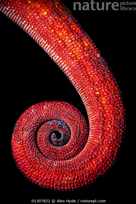 Panther chameleon tail {Furcifer pardalis} close up of coiled tail, red colouration, Madagascar., CHAMELEONS,CLOSE UPS,CRYPTIC,MADAGASCAR,NP,RED,REPTILES,RESERVE,SKIN,TAILS,TROPICAL RAINFOREST,VERTEBRATES,VERTICAL,National Park,Lizards, Alex Hyde